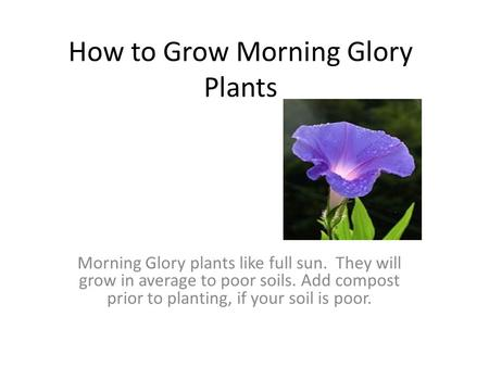 How to Grow Morning Glory Plants