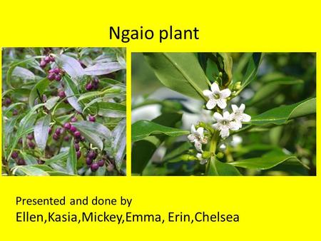 Ngaio plant Presented and done by Ellen,Kasia,Mickey,Emma, Erin,Chelsea.