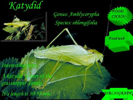 Katydid Genus: Amblycorypha Species: oblongifolia Interesting facts: A katydid is part of the grasshopper family. It's length is 30-35 mm. Food web FOOD.