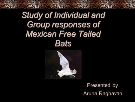 Study of Individual and Group responses of Mexican Free Tailed Bats Presented by Aruna Raghavan.