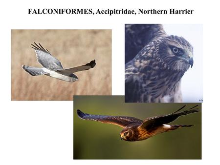 FALCONIFORMES, Accipitridae, Northern Harrier. FALCONIFORMES, Accipitridae, Red-Tailed Hawk.