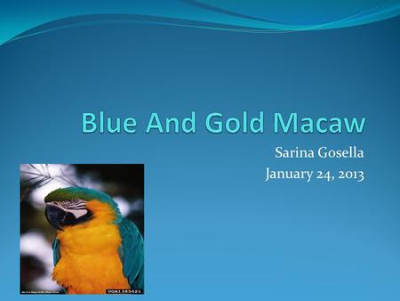 Sarina Gosella January 24, 2013 Name Of Animal The name of my rain forest baby is the blue and gold macaw.