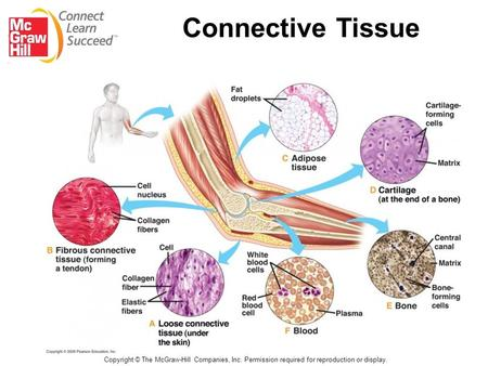 compare and contrast connective tissues Connective tissue is made up of many different types of cells that are all involved  in  compare and contrast the three types of muscle tissue 2.