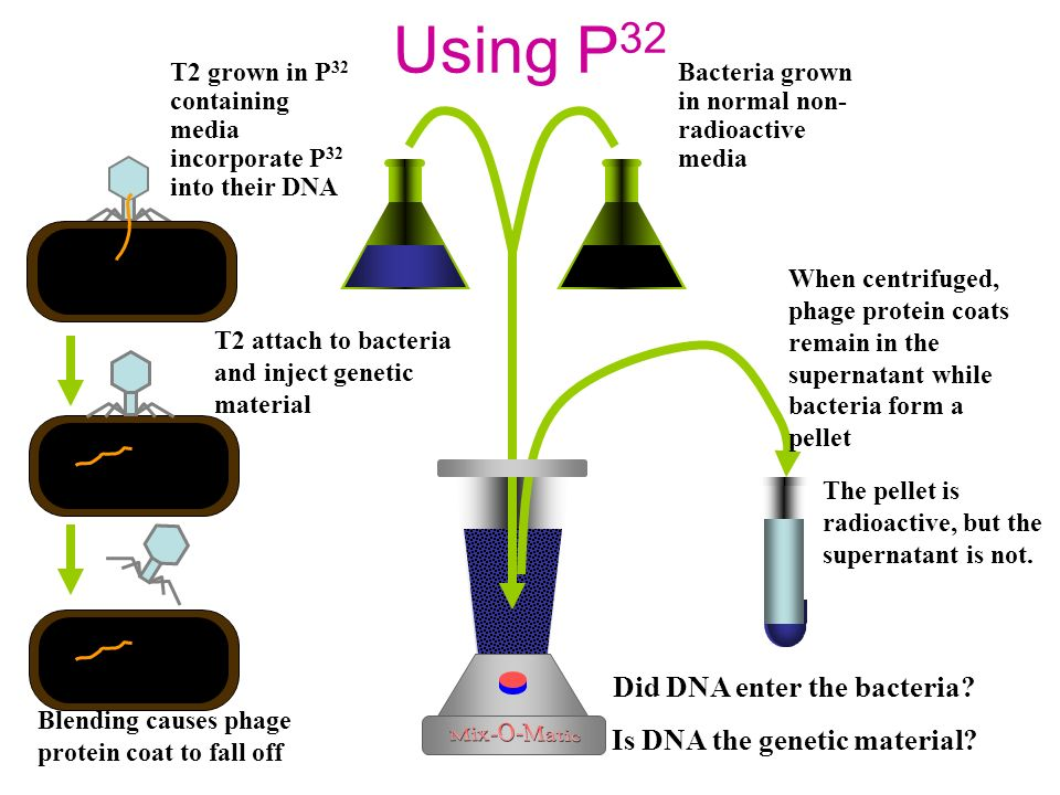 Using P 32 Bacteria grown in normal non- radioactive media T2 grown in P 32 containing media incorporate P 32 into their DNA Blending causes phage protein coat to fall off T2 attach to bacteria and inject genetic material Is DNA the genetic material.