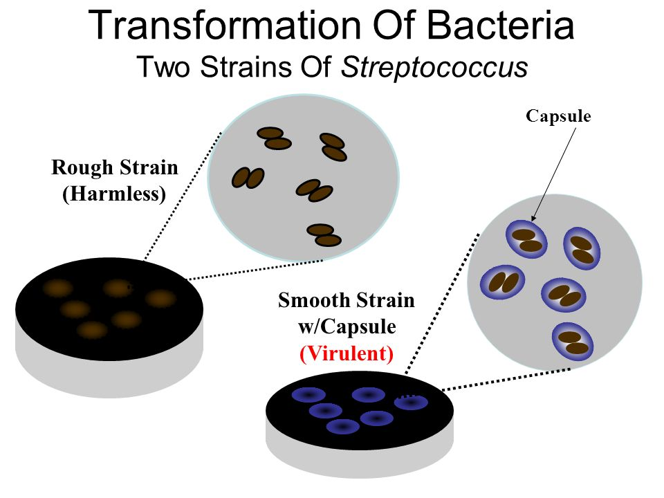 Transformation Of Bacteria Two Strains Of Streptococcus Smooth Strain w/Capsule (Virulent) Rough Strain (Harmless) Capsule