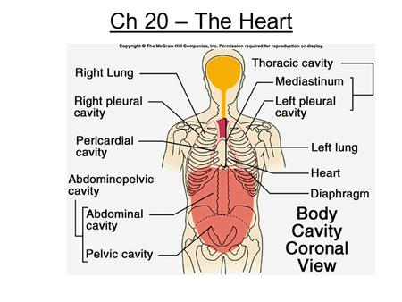 Ch 20 – The Heart. Anatomy I. Size- clenched fist II. Location A. in the mediastinum- area between the lungs B. inside a sac named the pericardium 1.