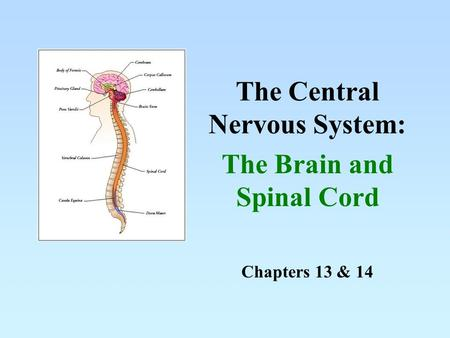 Chapters 13 & 14 The Central Nervous System: The Brain and Spinal Cord.