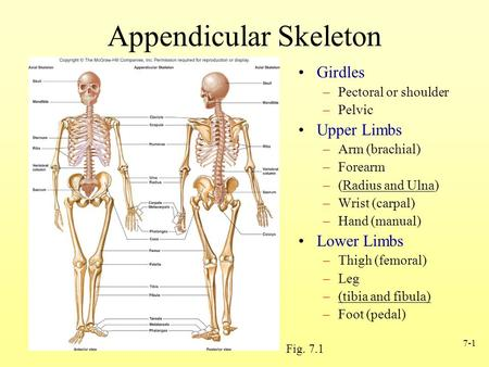 7-1 Appendicular Skeleton Girdles –Pectoral or shoulder –Pelvic Upper Limbs –Arm (brachial) –Forearm –(Radius and Ulna) –Wrist (carpal) –Hand (manual)