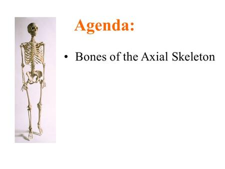 Bones of the Axial Skeleton Agenda:. Parts of the Skeletal System Axial skeleton –Skull, vertebral column, ribs Appendicular skeleton –Upper & lower limb.