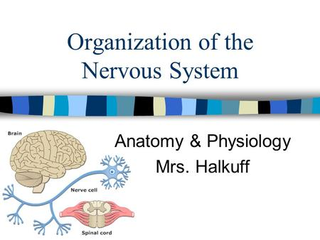 Organization of the Nervous System Anatomy & Physiology Mrs. Halkuff.