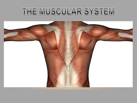 OVERVIEW - How many muscles are in the human body? - There are 640 muscles in the human body. - What is a muscle? - A tissue that is made of cells or.