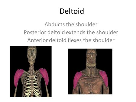 Deltoid Abducts the shoulder Posterior deltoid extends the shoulder Anterior deltoid flexes the shoulder.