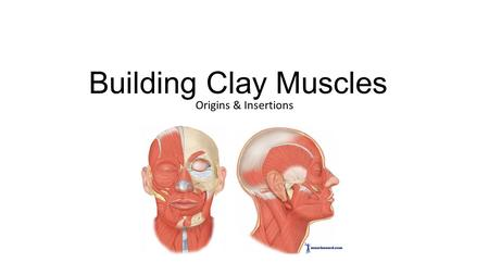 Building Clay Muscles Origins & Insertions. Close eyes, blink, wink.
