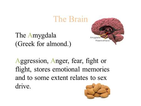 The Brain The Amygdala (Greek for almond.) Aggression, Anger, fear, fight or flight, stores emotional memories and to some extent relates to sex drive.