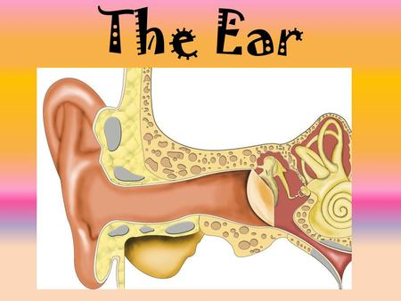 The Ear. 1. The outer ear collects sound waves. 2. The sound waves make the eardrum vibrate.
