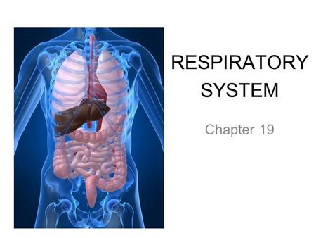 RESPIRATORY SYSTEM Chapter 19. PRIMARY FUNCTIONS Exchange gases (oxygen and CO2) Produce vocal sounds Sense of smell Regulation of blood PH.