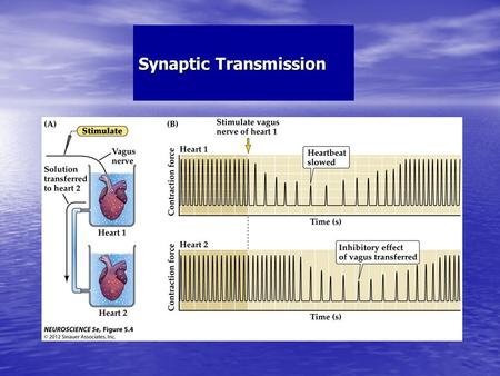 Synaptic Transmission. Electrical & Chemical Synapses Electrical & Chemical Synapses.
