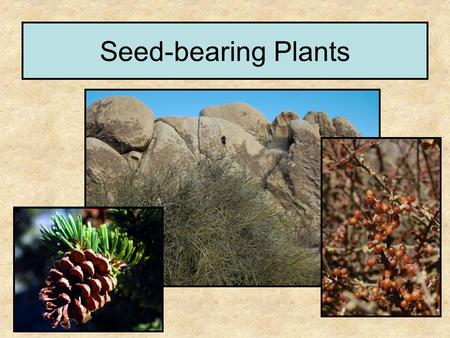 Seed-bearing Plants. Land Plants fall into two major groups Non vascular Vascular.