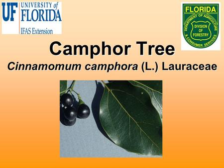 Camphor Tree Cinnamomum camphora (L.) Lauraceae. Biology Native to China and JapanNative to China and Japan Used for oils and timber productionUsed for.