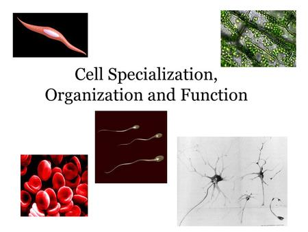 Cell Specialization, Organization and Function. Cell Specialization Cells specialize to carry out specific functions in an organism. Cells come in a variety.
