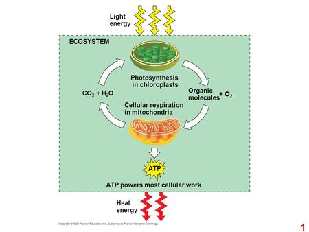 Light energy ECOSYSTEM Photosynthesis in chloroplasts CO 2 + H 2 O Cellular respiration in mitochondria Organic molecules + O 2 ATP powers most cellular.