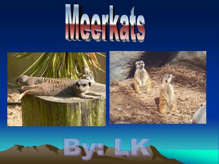 Physical Features MMMMeerkats are about 2 feet long. AAAAn adult Meerkat only weighs 2 pounds. TTTTheir ears are almost totally covered by.