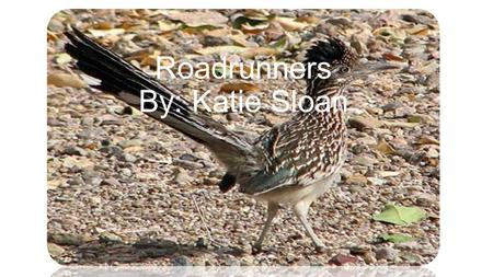 Roadrunners By: Katie Sloan Q: What is a Roadrunner? A: A roadrunner is a type of bird or cuckoo, but it is unlike many other types of cuckoos. It is.