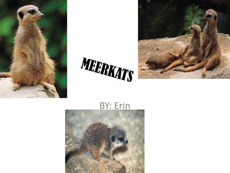 MEERKATS BY: Erin Hey guess who I am I am a Meerkat you are going to learn a lot about me! You are going to learn what I eat, my adaptations, my habitat,