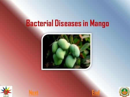 Bacterial Diseases in Mango NextEnd.  Generally two types of bacterial disease commonly observed in banana. One is Pseudomonas Wilt and another one is.
