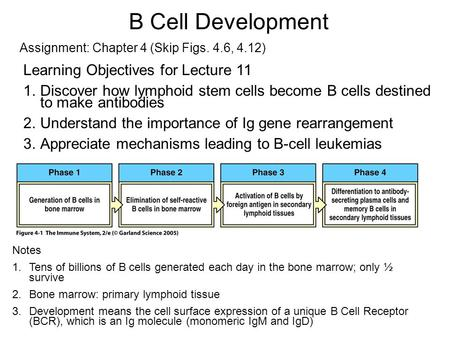 B Cell Development Assignment: Chapter 4 (Skip Figs. 4.6, 4.12) Notes 1.Tens of billions of B cells generated each day in the bone marrow; only ½ survive.