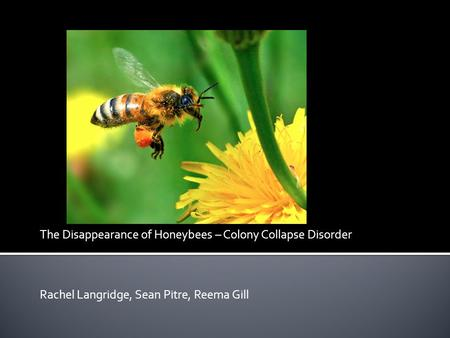 The Disappearance of Honeybees – Colony Collapse Disorder Rachel Langridge, Sean Pitre, Reema Gill.
