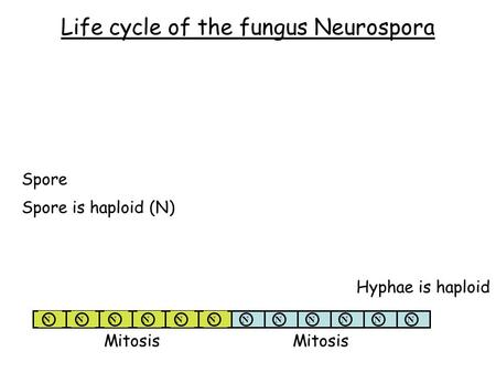 Life cycle of the fungus Neurospora