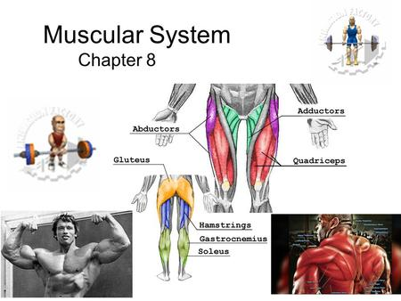 Muscular System Chapter 8. Poke a Muscle Learn your muscles.
