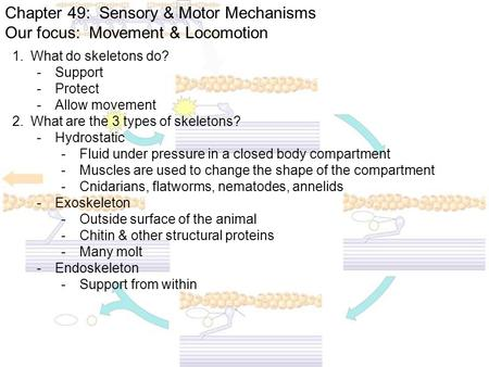 Chapter 49: Sensory & Motor Mechanisms Our focus: Movement & Locomotion 1.What do skeletons do? -Support -Protect -Allow movement 2.What are the 3 types.