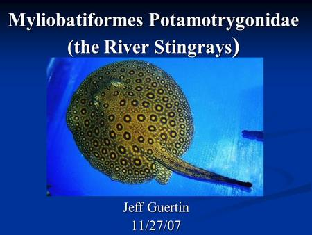 Myliobatiformes Potamotrygonidae (the River Stingrays ) Jeff Guertin 11/27/07.