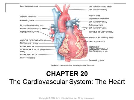 Copyright © 2014 John Wiley & Sons, Inc. All rights reserved. CHAPTER 20 The Cardiovascular System: The Heart.
