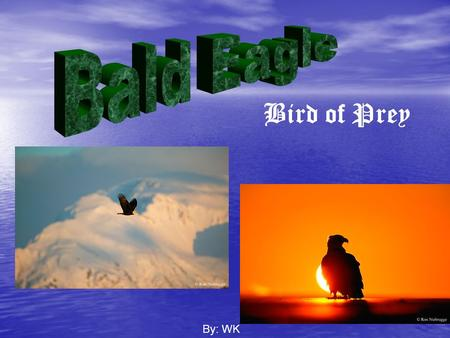 Bald Eagle Bird of Prey By: WK.