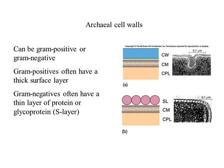Archaeal cell walls Can be gram-positive or gram-negative Gram-positives often have a thick surface layer Gram-negatives often have a thin layer of protein.