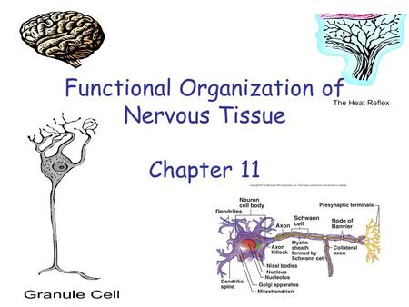 Functional Organization of Nervous Tissue Chapter 11.