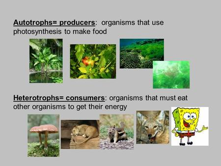 Autotrophs= producers:  organisms that use photosynthesis to make food