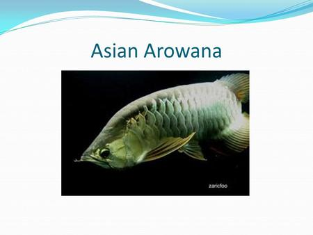 Asian Arowana. Diet Feeds on any small animal they can catch, including small birds and bats they catch in mid- air. Highly carnivorous, also eats shrimp.