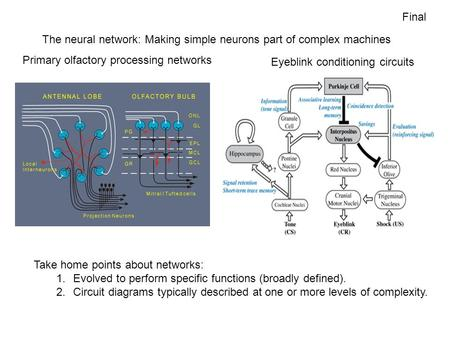 The neural network: Making simple neurons part of complex machines Eyeblink conditioning circuits Primary olfactory processing networks Take home points.