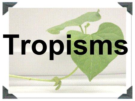Tropisms. Stimulus Change in an organism's surroundings that causes a response –Internal (chemicals and hormones) –External (light, touch, water, gravity)