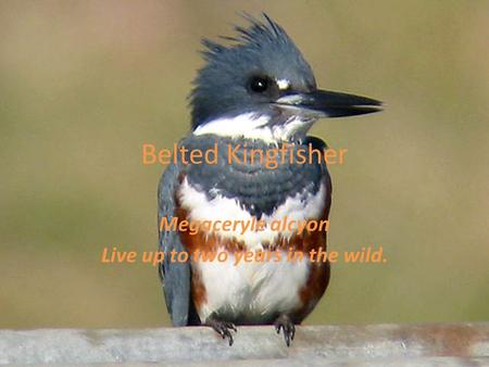Belted Kingfisher Megaceryle alcyon Live up to two years in the wild.