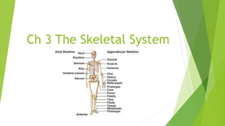 Ch 3 The Skeletal System. Overview  Bones>  Bones> oss/e, oss/I, oste/o, ost/o: Act as the framework for the body, protect the internal organs, and.