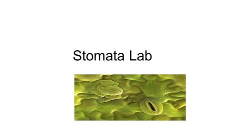 Stomata Lab. Transpiration The evaporation of water through plant leaves Has the same effect on plant leaves as perspiration does on human skin. As water.