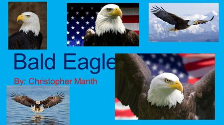 Bald Eagles By: Christopher Manth.