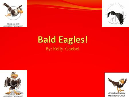 By: Kelly Gaebel. Interesting facts about Bald eagles! Bald Eagles have a different way of lifestyle than most other birds. Bald Eagles look like most.