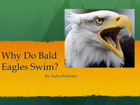Why Do Bald Eagles Swim? By: Jaden Schlotter Meet My Neighbors The Bald Eagle usually lives near lakes, and rivers. The Bald Eagle usually lives near.