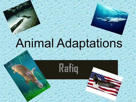 Animal Adaptations Rafiq. Platypus Adaptation 1: They have poison under their legs to defend themselves from their predators. Adaptation 2: They have.